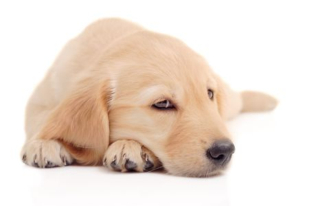 Golden retriever puppy isolated on white photo