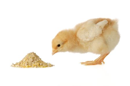 animal feed:  chicken having a meal