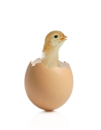 eggshell:  chicken coming out of an eggshell