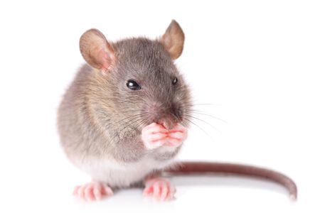 Mouse isolated against white background photo
