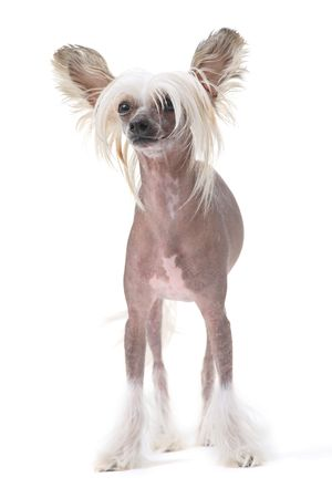 crested: Chinese crested dog isolated against white background