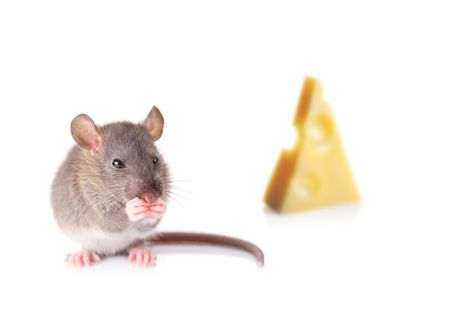 nibbling: Mouse nibbling some cheese isolated on white Stock Photo