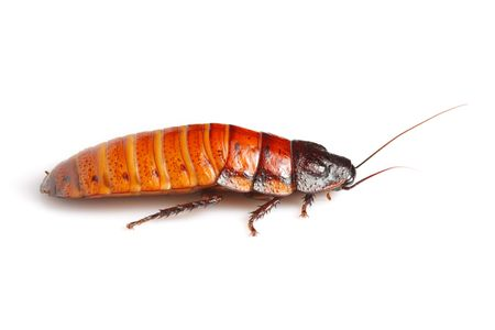 Madagascar hissing cockroach (Gromphadorhina portentosa) photo