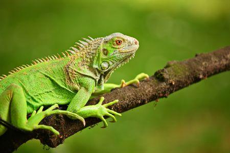 Iguana on a tree branch