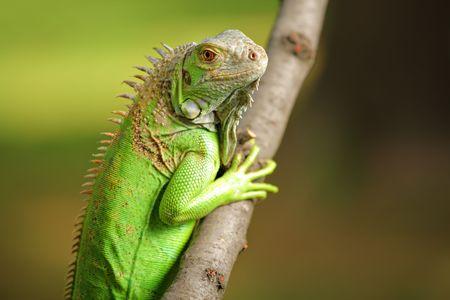 species of creeper: Iguana in the wild Stock Photo
