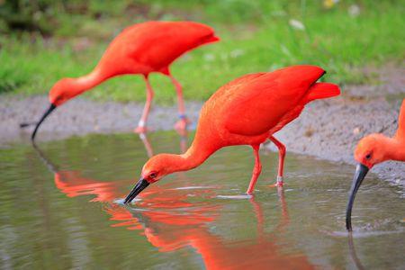 Scarlet ibis birds in the wild photo