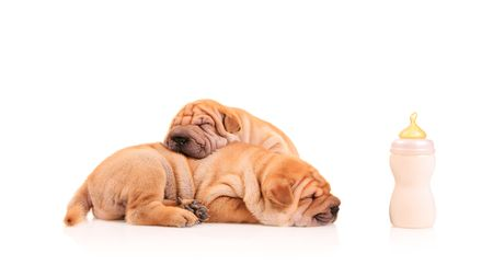feasting: Sharpei puppies resting after some milk feasting