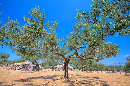brac: Olive tree orchard on the island of  Brac, Croatia