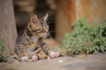 furred: Lazy kitten