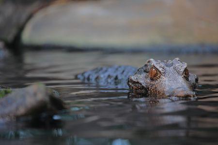 prowler: Alligator in the wilderness