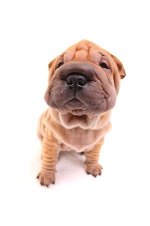 Sharpei puppy isolated against white background photo