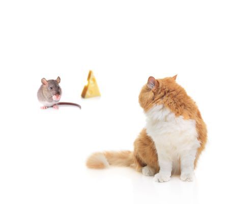 Cat watching a mouse nibbling some cheese isolated on white photo