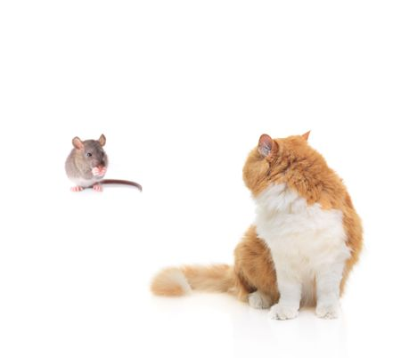 Cat watching a mouse isolated against white background photo