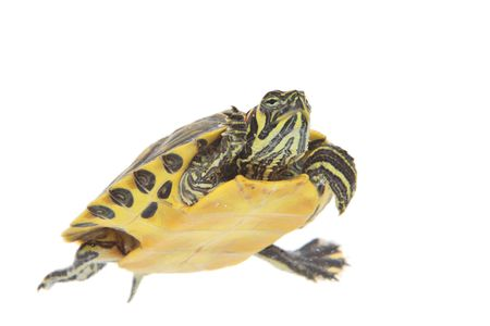 ocadia sinensis: Water turtle isolated on white background