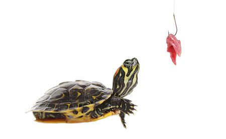 ocadia sinensis: Water turtle and a fishing hook with meat isolated on white background