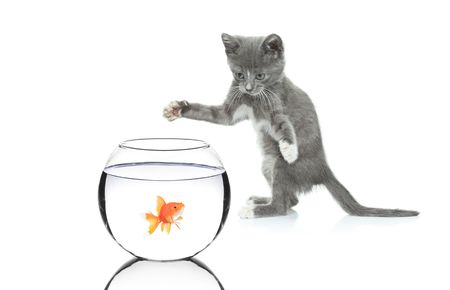 Cat chasing a fish in a bowl isolated on white background Stock Photo - 5518377
