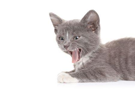 hissing: Cat sibilando contro sfondo bianco