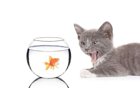 hissing: Cat sibilo di un pesce in una terrina di pesce contro sfondo bianco