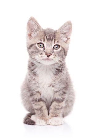 gato gris: Gato gris aisladas sobre fondo blanco