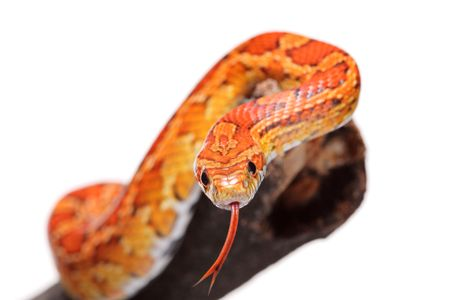 animal tongue: Corn snake on a branch isolated on white background Stock Photo