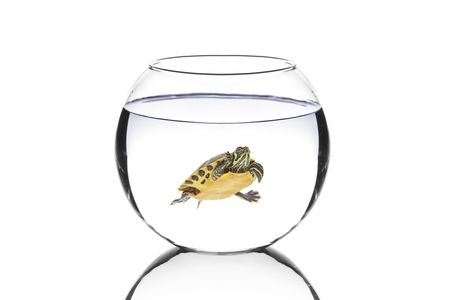 Water turtle in a bowl isolated on white background photo