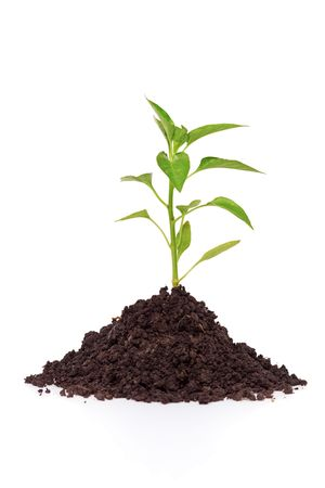 vegetate: Growing a pepper plant in soil isolated on white background