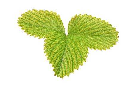 A strawberry leaf isolated on white background photo
