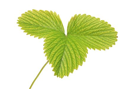 A view of a strawberry leaf isolated against white background photo