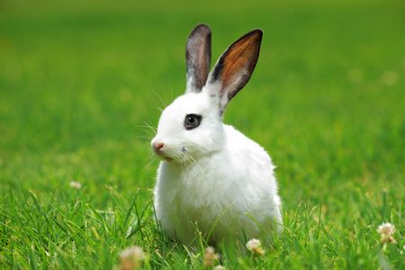 lapin blanc: A view of a white rabbit on a green grass