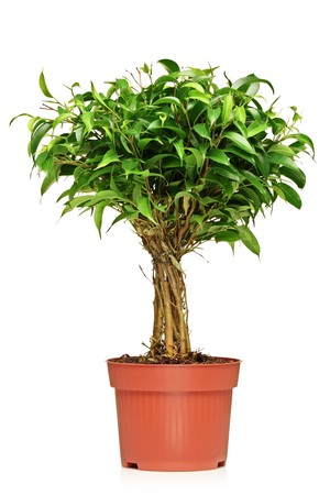 A Ficus Benjamin (ficus benjamina natasja) in a brown pot isolated on white background photo
