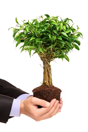 ficus: A hand holding a plant Ficus Benjamin (ficus benjamina natasja) isolated on white background