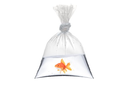 A view of a golden fish in a bag isolated on white background Stock Photo - 8189499