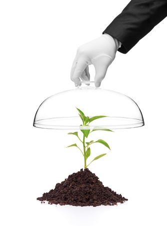 A hand holding a cover over a pepper plant in soil isolated on white background photo
