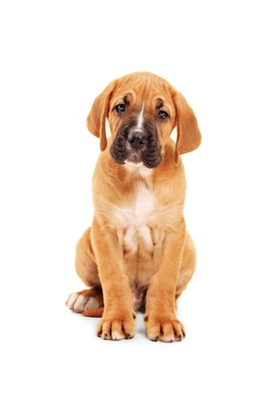 closeup puppy: Sad little cane corso puppy looking at camera isolated on white background Stock Photo