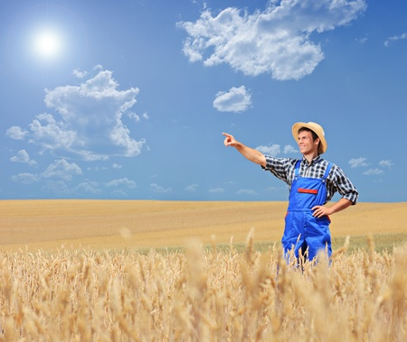 young farmer: A young farmer pointing in a wheat field