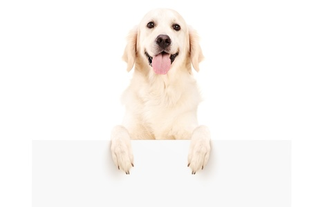 Retriever dog standing behind white panel, isolated on white background