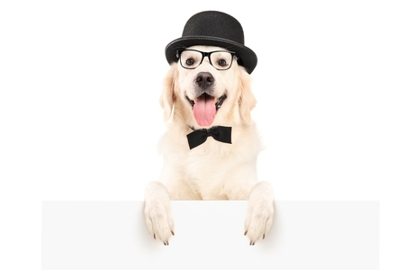 dog pose: A dog with hat and bow tie standing behind a white panel, isolated on white background
