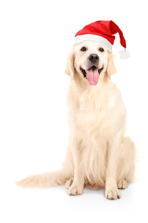labrador christmas: A studio shot of a dog wearing a christmas hat isolated on white background