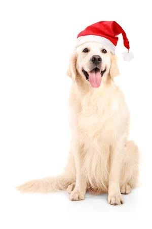 perro labrador: Un tiro de un perro que lleva un sombrero de Navidad aislado sobre fondo blanco