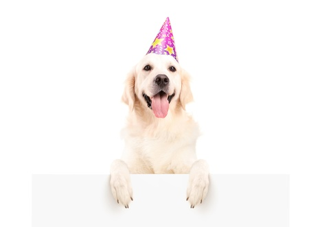 santa cap: Labrador retriever with party hat posing on a blank panel isolated on white background