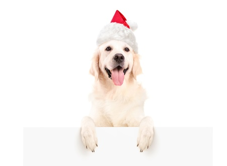 labrador christmas: Labrador retriever with christmas hat posing on a blank panel isolated on white background