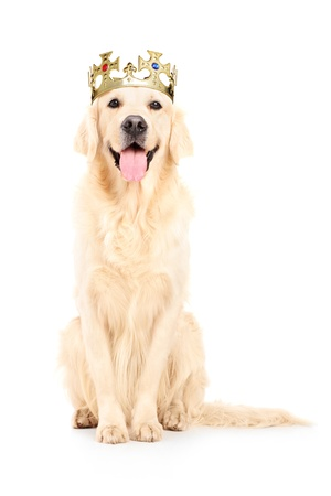 retriever: A studio shot of a labrador retriever with crown on his head isolated against white background