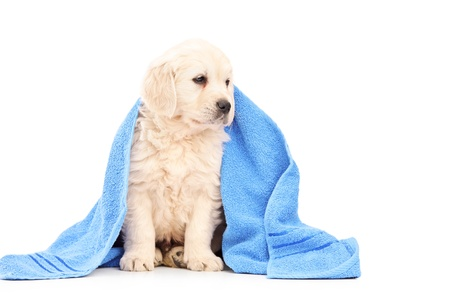 retriever: A little labrador retriever dog covered with blue towel isolated on white background