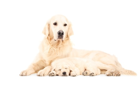 A mother labrador retreiver with her baby dog posing isolated against white background photo