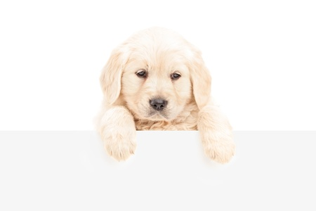 A small labrador retriever posing behind a blank panel, isolated on white background photo
