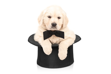 Cute puppy dog with bow tie posing in a top hat isolated on white background photo