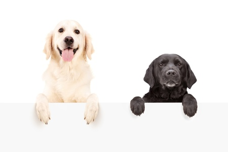 Two dogs standing behind blank panel isolated on white background photo