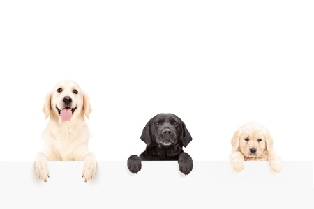 shot from behind: Three dogs posing behind a blank panel, isolated on white background