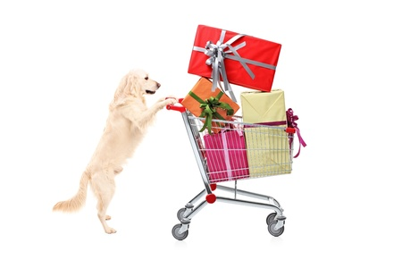 Retriever dog pushing a shopping cart full of wrapped presents isolated on white background photo