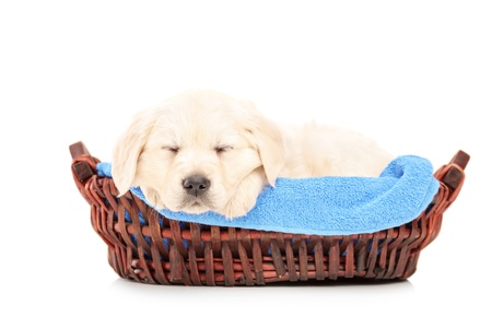 Cute labrador puppy dog sleeping in a basket, isolated on white background photo